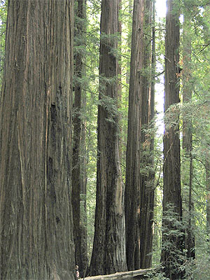 Redwoods in Whittemore Grove on Briceland Road