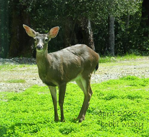 deer-we call him Spike