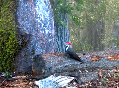 Pilated Woodpecker