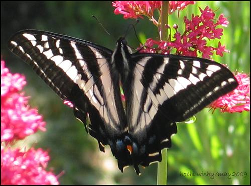 Butterfly on Jacobs Beard